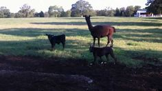 Some of you have been curious about our use of Guard Llamas to protect our herd against canine predators. Here is a video of one of the llamas watching over . Modern Farmer, Homestead Farm, Farms Living, Llamas, Livestock, Predator, Calves, Horses, Bees