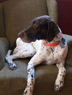 GSP Gunner German short hair pointer, Relaxing in his favorite spot, the good chairs