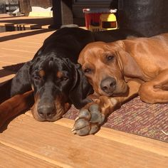hound love! Black and tan and a redbone coonhound