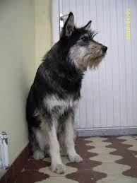 Image result for standard irish wolf schnauzer