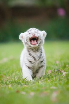White Bengal Tiger Cub..not sure if he is laughing or hollering for MOM!!