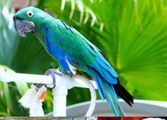Emerald macaw