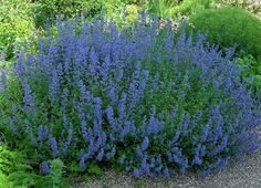~Meadow Sage~ This deer-resistant perennial is easy to care for and rewards the beginning gardener with long-blooming deep purple flowers. It's a favorite of hummingbirds and bees, and will become a favorite of yours, as it comes back year after year.