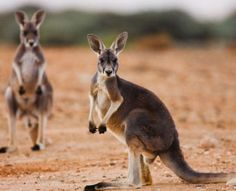 Online Chemistry? Kangaroos Fart Methane, Too : Discovery News