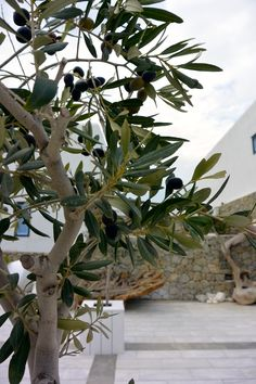 Olive trees in Greece