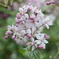 Buy deutzia Deutzia × Hybrida 'Mont Rose': Delivery by Crocus Planting Shrubs, Garden Plants, Family Garden, Cool Plants, Hibiscus, Planters, Stuff To Buy, Rose Delivery, Gardens