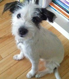 Mies the Jack Russell Mix | Dogs | Daily Puppy