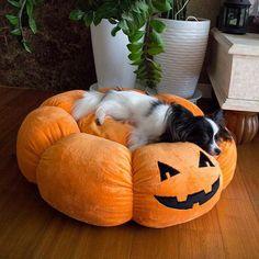 🍁Falling into autumn mode with my new Affetto pumpkin bed 🎃💓 . 🍁#아페토 호박방석으로 가을에 빠져드는 중 🎃💓 . @affetto1998 @toypet2015 에서 호박방석 사진을 만나볼 수 있어요🎃👻💖 . #papillon #papillonkimi #papillonsofinstagram #dogstagram #dogsofinstagram #puppy #pupstagram #puppiesofinstagram #petstagram #petsofinstagram #instadog #dailydog #instapet #빠삐용 #파피용 #빠삐용키미 #犬 #愛犬 #パピヨン #パピヨンキミちゃん #папийон #папильон #마약방석 #강아지방석 #할로윈 #halloween #puppyhalloween