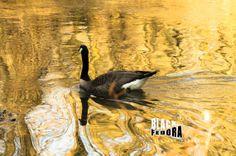 golden goose desktop wallpaper download by BlackFedoraArtnStuff, $0.99
