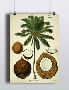 Antique Palm Tree Print Coconut Illustration Poster Tropical Beach Decor Botanical Prints Palm Tree Art Nature Home Decor Art Prints
