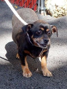 TO BE DESTROYED - 8/27/14 Manhattan Center -P  ~~SENIOR ALERT ~~My name is MARCO POLO. My Animal ID # is A1011593. I am a male black and tan dachshund mix. The shelter thinks I am about 9 YEARS old.  I came in the shelter as a STRAY on 08/22/2014 from NY 10029, owner surrender reason stated was ABANDON.