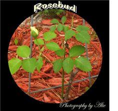 Rosebud!