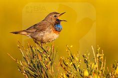 Bluethroat ssp. cyanecula - BIA - birdimagency