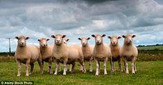 Наевшись каннабиса овцы устроили дебош в британской деревне
