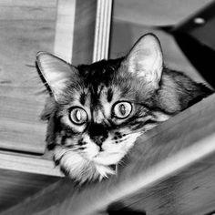 Emma: Ich soll für @bavarian_cats_life in schwarzweiß meowdeln. Und ein paar Furriends nominieren was mir urschwer fällt weil sich alle mal so zeigen sollten ... @silhwsn_lapermsiblings @maurycja_cashmir @hummels_the_snowbengal   #adventurecat #allcatphotos300 #bengaladdicted #bengalsofinstagram #bestcats_oftheworld #bengalcat_lovers #bengalcats #bengalcatworld #catfeaturesdaily #cashmerebengal #catexplorer #ig_bengals #instabengal #blackandwhite #lovemybengal #mybengal #topcatphotos… Elsa, Bengal, Kitty, Instagram, Animals, Couple, Monochrome, Animales, Kitten