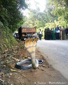 Three-Head Cobra.  Reminded me of myth of Cerberus, the three-headed dog.  A natural mutation, or maybe caused by pollutants and pesticides?