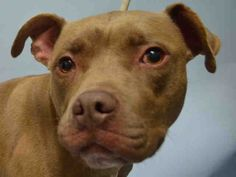 Brooklyn Center CHARDONNAY – A1045127 FEMALE, BROWN / WHITE, AM PIT BULL TER, 3 yrs STRAY – STRAY WAIT, NO HOLD Reason STRAY Intake condition EXAM REQ Intake Date 07/23/2015