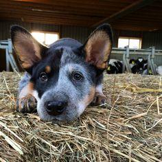 Australian cattle dog 12 weeks