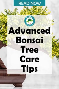 Master caring for your bonsai tree with these 5 advanced bonsai tree care tips. Learn how to thicken your bonsai tree trunk, learn about different rooting methods, and how to defoliate your bonsai. #bonsai Bonsai Tree Care, Fiddle Leaf Fig Tree, Spider Plants, Bonsai Plants, Houseplants, Succulents, Herbs, Easy, Garden