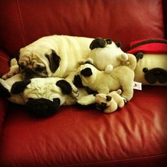 One can never have too many pug toys (S)