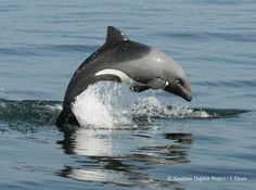 Heaviside's dolphin (Cephalorhynchus heavisidii). Elephant Photography, Animal Photography, Dolphin Photos, Bottlenose Dolphin, Aquarium, Killer Whales, African Elephant, Animal Tattoos, Marine Life