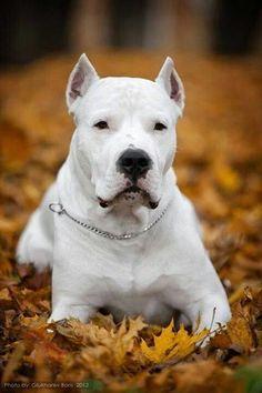 Dogo Argentino/自分に絶対的な自信をもっている日本では珍しい犬!|「Dog Safety 倶楽部 」のファンがつくるサイト