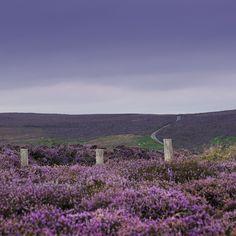 The Long Mynd, Shropshire  OMG heather!!!!!   <3 <3