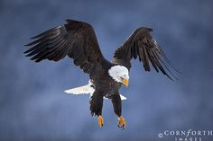 bald eagle in flight, Alaska, Chilkat Bald Eagle Preserve, by Jon Comforth