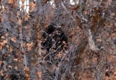 The infamous mysterious Bigfoot monster continues to scare unsuspecting campers, this time near Little Rock Canyon in Provo Canyon, Utah. Weird Creatures, Mythical Creatures, Bigfoot Video, Bigfoot Encounters, Stranger Things Monster, Bigfoot Photos, Lago Ness, Creepy, Scary