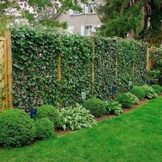 20 Green Fence Designs, Plants to Beautify Garden Design and Yard Landscaping is part of garden Design Plants - Climbing plants are popular choices for garden design, porch and front yard decorating, arbors and green fence design Privacy Fence Landscaping, Privacy Fence Designs, Privacy Plants, Garden Privacy, Backyard Privacy, Garden Shrubs, Diy Garden, Backyard Fences, Backyard Landscaping