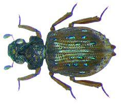 Familie: Epimetopidae Grösse: 3,1 mm Fundort: Sri Lanka, E Provinz leg. O.Mehl, 2004; det. A.Skale, 2008 Foto: U.Schmidt, 2008