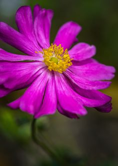 ~~Anemone Japonica by edithnero~~