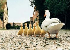 Raising a pet duck requires basic housing, food and care. Pet ducks are social animals that make great pets. Cute Baby Animals, Farm Animals, Animals And Pets, Funny Animals, Animals Photos, Animal Pictures, Funny Pictures, Pet Ducks, Baby Ducks