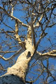 sycamore tree bark images - Google Search