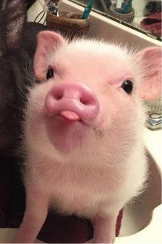 Baby Farm Animals, Baby Animals Super Cute, Baby Animals Pictures, Cute Little Animals, Cute Animal Pictures, Cute Funny Animals, Funny Pig Pictures, Pig Pics, Baby Cows