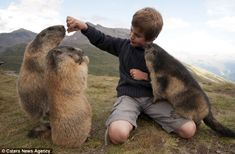 Jealous: One marmot is so keen to get his attention that it has climbed up into Matteo's lap for a cuddle