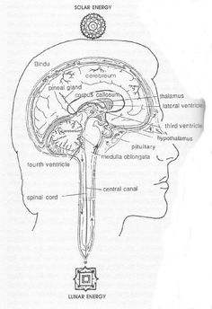 Pineal Secrets: Pineal gland is the true master gland. It is situated between the eyes. It is the organ of clairvoyance, Third eye, the eye of Ra or Heru (God). Biblical Jacob saw God face to face on the island of Pe-ni-el. Its secretes melatonin which is anti ageing in effect and anti oxidant in nature. This also secretes melanin which colours our skin.