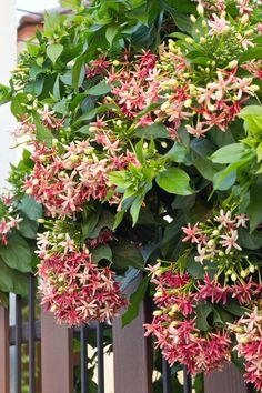 Rangoon creeper, Quisqualis indica ထားဝယ္မိႈင္း Planting Succulents, Garden Plants, Indoor Plants, House Plants, Planting Flowers, Flowering Creepers, Creepers Plants, Flowering Plants In India, Flowering Vines
