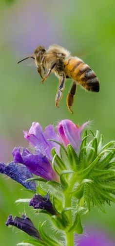 STOP using pesticide and substance that kills insects because you are killing bees too. Get rid of insects a natural way so you don't harm the bees. I Love Bees, Birds And The Bees, Bees And Wasps, Bee Sting, Bugs And Insects, Mundo Animal, Save The Bees, Bees Knees, Fauna