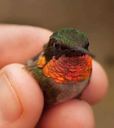 Ruby-throated Hummingbird  Photo by @gourmetbiologist #WildlifePlanet