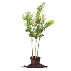 NATCHEZ CRAPE MYRTLE Size: 5-6 ft by PerfectPlantsNursery on Etsy