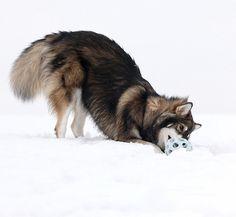 UTONAGAN American Indian Dog, American History, Utonagan Dog, Animals Beautiful, Cute Animals, Farm Animals, Dog Emoji, Dog Comics, Wolves