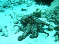 Fighting Octopus (Octopi? What's the plural on that?)