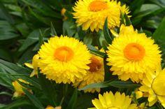 Strohblume, Helichrysum