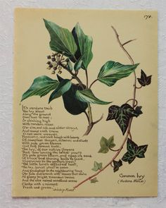 Vintage Botanical Book Plate - Common Ivy - Winter - December - Christmas - Country Diary of an Edwardian Lady - Edith Holden
