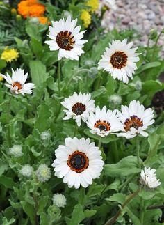 Daisy Seeds - ZULU PRINCE -Drought Tolerant Flower - Withstands Frost - 50 Seeds | Home & Garden, Yard, Garden & Outdoor Living, Plants, Seeds & Bulbs | eBay!