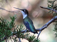 Hummingbird singing a sweet song
