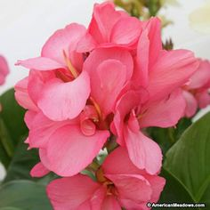 Pink Canna Lily Pink Magic, Canna Indica, Elite Series Large Flowering Canna Lily