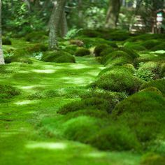 Moss instead of grass in shady areas. Kyoto Moos Universe by Ippei & Janine Naoi . Jardim Natural, Moss Lawn, Moss Grass, Ground Cover Plants, No Photoshop, Plantation, Lush Green, Shade Garden, Dream Garden