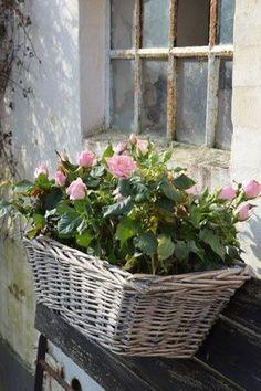 Pink rose window box~